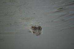 Alligator in Bayou Royalty-vrije Stock Fotografie