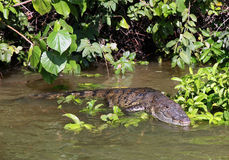 alligator belize Royaltyfri Bild