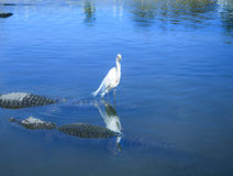 Alligator and birds in symbiotic relationship Stock Photos
