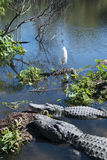 Alligator and birds in symbiotic relationship Royalty Free Stock Images