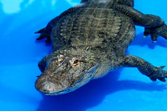 Alligator in blue water Stock Images