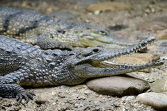 Alligator/caïman/crocodile Photographie stock libre de droits
