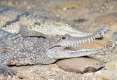 Alligator/caïman/crocodile Photo stock