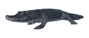 Alligator Caiman on White Stock Photography
