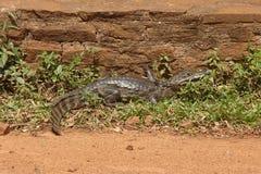 Alligator in Carlos Pellegrini, Argentina Stock Photography
