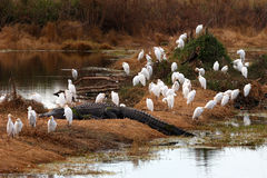 Alligator with cattle egrets Royalty Free Stock Photography