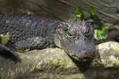 Alligator chinois image stock