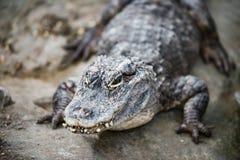 Alligator chinois du Yang Tsé Kiang photo libre de droits