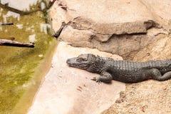 Alligator chinois scientifiquement connu sous le nom de sinensis d'alligator photographie stock
