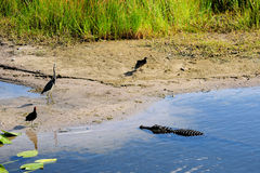 Alligator Chooses Its Meal. American alligator looking at its eventual meal in a South Florida wetland Stock Photography