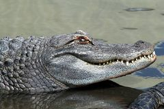Alligator close-up. Close-up image of a large alligator in water Stock Photography