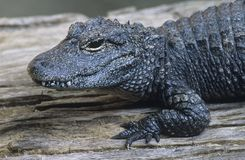 Alligator close-up Stock Images