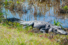 Alligator. Close up of a medium alligator in the wild marsh of South Carolina stock image
