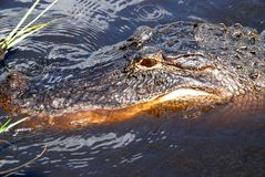 Alligator. Close-up on Alligator swimming in dark water in Everglades National Park royalty free stock image