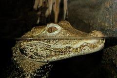 Alligator or Crocodile Royalty Free Stock Photos