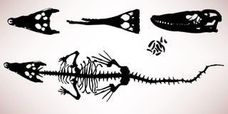 Alligator Crocodile Bone Skeleton Stock Photo