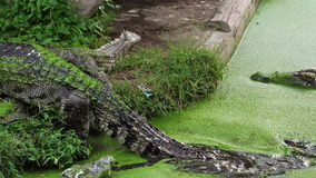 Alligator or Crocodile climb or walking from river or pond stock video