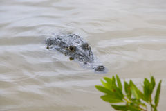 An Alligator or Crocodile hiding in the muddy water. Of river Royalty Free Stock Photography