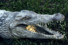 Alligator (crocodile) with open mouth on the grass. Alligator (crocodile) yawn (open mouth) on the grass in park Stock Photo