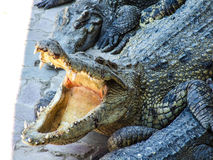 Alligator. Crocodile with open mouth resting, Thailand Royalty Free Stock Photos