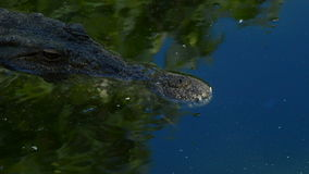 Alligator or crocodile in a river of natural park stock video footage