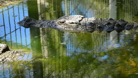 Alligator or crocodile in a river of a zoo. Crocodile or alligator in a river of a natural park or zoo stock video footage
