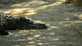 Alligator or crocodile sunbathing in a river in a natural park or zoo. Crocodile or alligator in a river of a natural park or zoo stock video