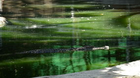 Alligator or crocodile swimming in a river in a natural park or zoo. Crocodile or alligator in a river of a natural park or zoo stock footage