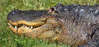 An alligator Stock Image