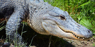 An alligator Royalty Free Stock Images