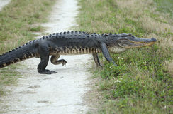 Alligator crossing a dirt road. Stock Images