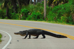 Alligator crossing road Royalty Free Stock Photo