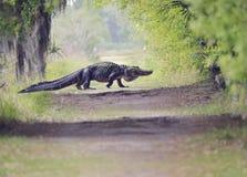 Alligator Crossing Trail Stock Photo