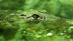 Alligator dans l'étang Photographie stock libre de droits