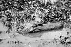 Alligator dans l'eau Photos libres de droits