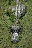 Alligator dans les algues Image libre de droits