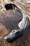 Alligator dans les marais Images stock