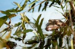 Alligator de attente - fleuve d'Amazone Photos libres de droits
