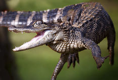 Alligator de bébé photos stock