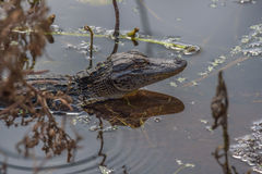 Alligator de bébé images stock