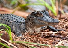Alligator de chéri Images libres de droits