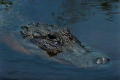 Alligator de la Floride Photos stock