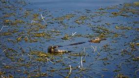 Alligator de la Floride de bébé Photos libres de droits