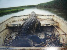 Alligator de la Louisiane photos libres de droits