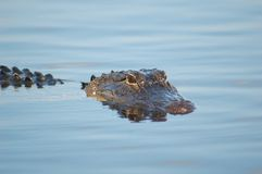 Alligator de marais Photographie stock