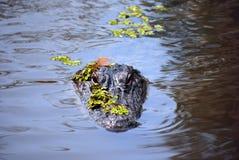 Alligator in het moeras Stock Foto