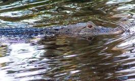 Alligator de natation Photographie stock