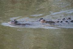 Alligator de natation de la Floride Photographie stock