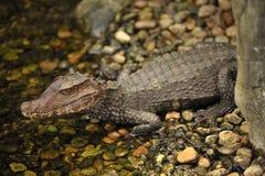 Alligator in de rivier royalty-vrije stock foto