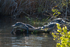 Alligator de sommeil Photo stock